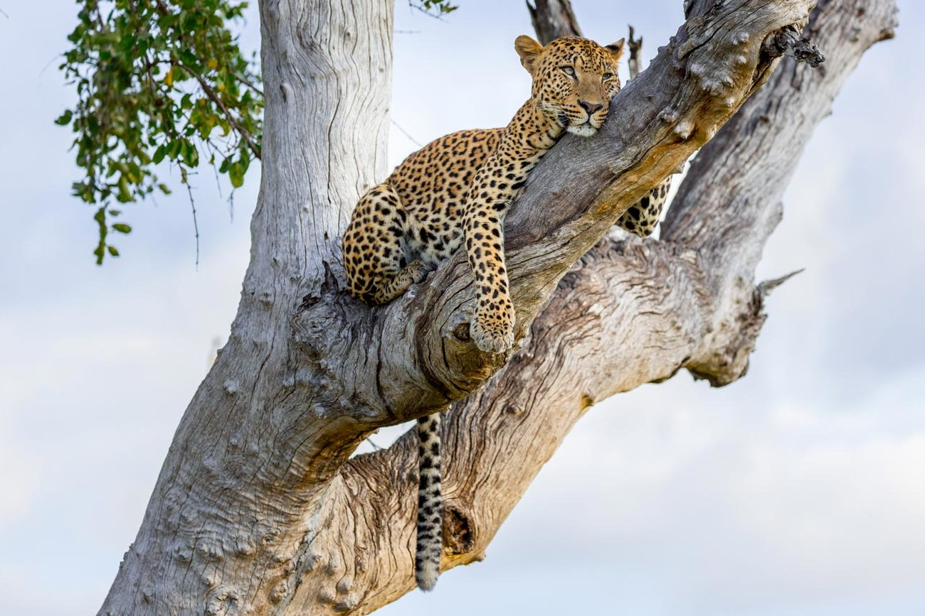 Leopard-resting-in-tree-after-fight,-South-Luangwa,-Zambia