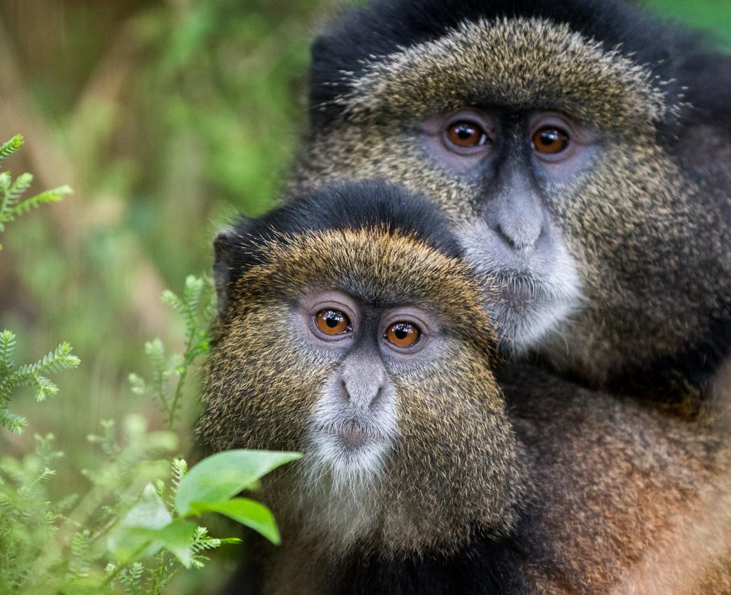 Mother-and-baby-golden-monkey-in-Volcanoes-National-Park,-Rwanda